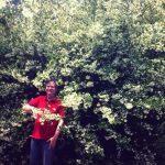 Espino de fuego (Pyracantha coccinea) El día del Millón de Flores: