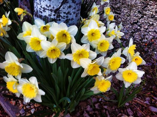 Florecen los Narcisos...