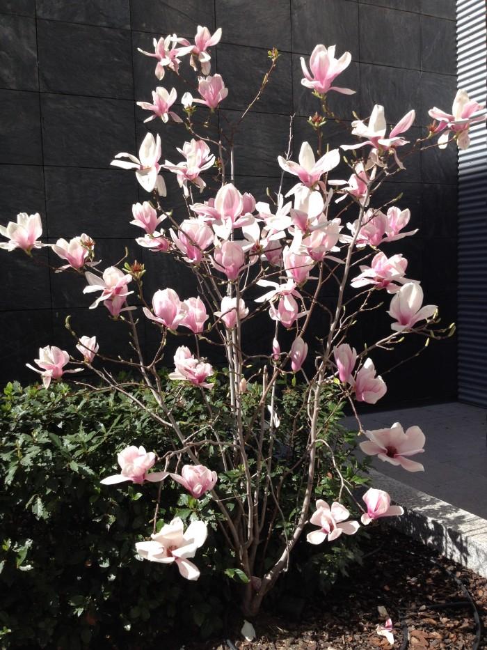 Los magnolios de flor como ejemplares aislados confieren un look perfecto de estética y calidad al jardín.