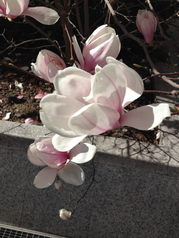 Magnolia soulangeana. Primer plano de estas flores maravillosas que llenan un jardín a principios de primavera.