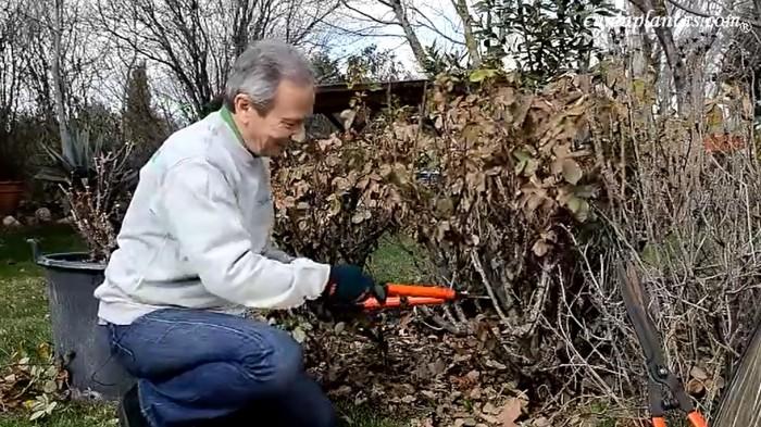 Poda rejuvenecimiento en rosales arbustivos2