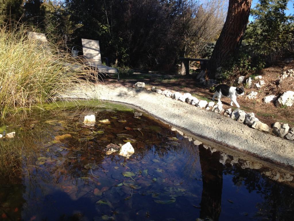 El estanque, las algas y la gata Fidias paseando en la orilla