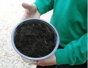 Esquejes de crassula arborescens o árbol de jade