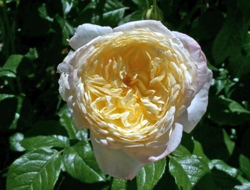 La rosa mas perfumada