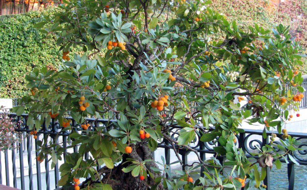 Madroño Botánico MADRID