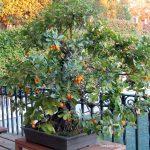 Los cuidados del Madroño (Arbutus unedo) en otoño: flores y frutos