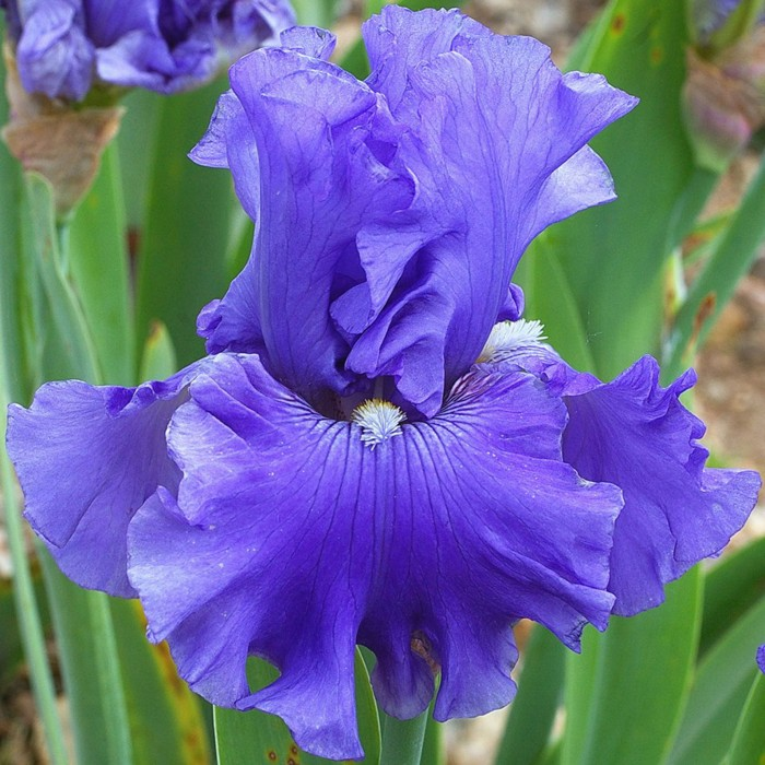 Iris, las mejores flores