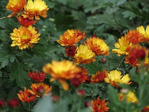 me gusta otoño por los crisantemos