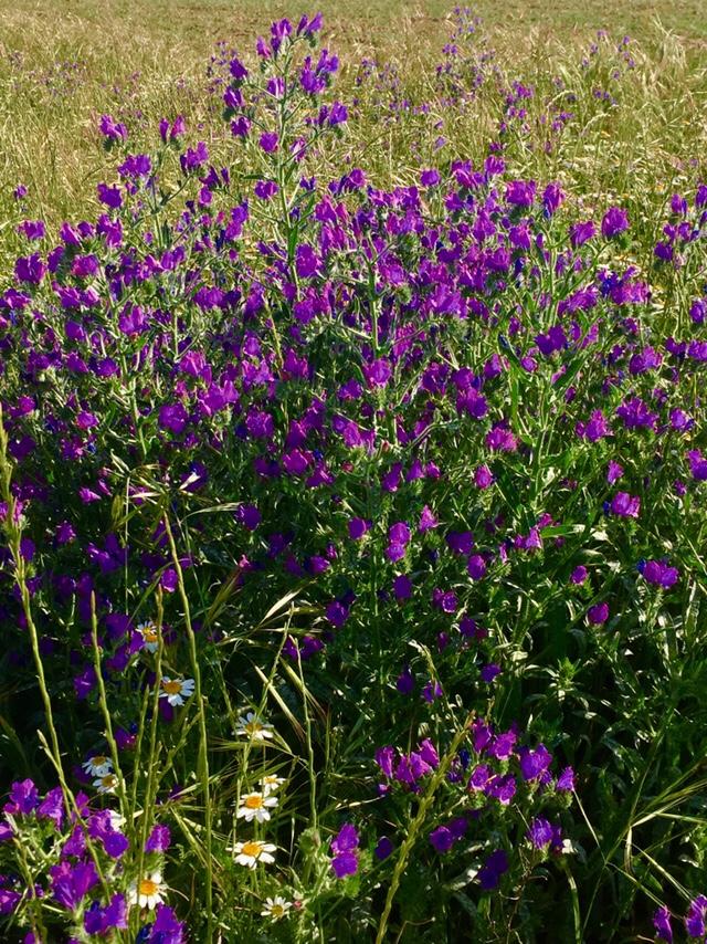 Viborera fasciada (Echium vulgare)