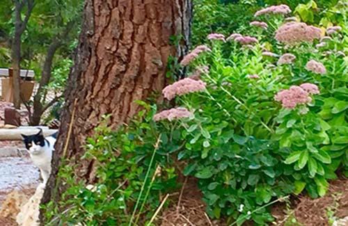 El Sedum spectabile y telephium es el nombre en latín de los telefíos u hojas calleras con ese tono rosa pastel sensacional.